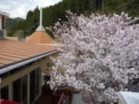 ステージ桜